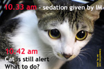 Cat spay tips from dr sing kong yuen, toapayohvets, singapore