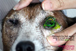 use the fluorescein stain test to show up corneal ulcers to clients, toapayohvets, singapore