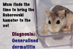 roborovski dwarf hamster, generalised skin infections, ulces, dandruff, scales, toapayohvets, singapore