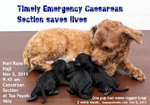 public holiday emergency caesarean section poodle water bag, no pups, distressed, too long wait. toapayohvets, singapore