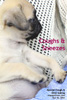dry hacking cough - kennel cough - new pug puppy, toapayohvets, singapore
