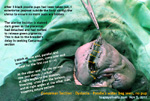 green pigments due to breakdown of placenta - delay in seeking caesarean section, poodle. toapayohvets, singapore