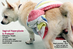 Vaginal hyperplasia and prolapse, not uterine prolapse, chihuahua, estrus, 10 years, toapayaohvets, singapore