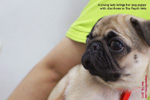 pug has diarrhoea, recovered from kennel cough, toapayohvets, singapore