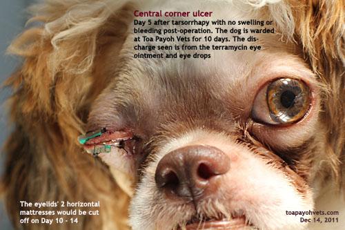 Dog Eye Ulcer Shih Tzu