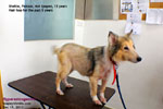 Hyperestrogenism, old Sheltie, hair loss for 5 years, toapayohvets, singapore