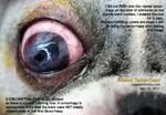 Deep ulcerative keratitis dog repeat tarsorrhapy toapayohvets, singapore