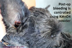 Miniature Schnauzer, ear nodule or wart, grows bigger and bigger, electro-surgery-toapayohvets