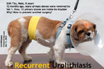 urinary stones recur again one year after surgery by Vet 1. Why? toapayohvets, singapore