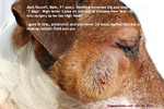 jack russell big facial swelling abscessed maxillary molar teeth toapayohvets singapore