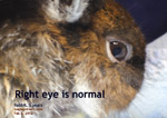 corneal ulceration in a 5-year-old rabbit, left eye. why? tooth abscess, other rabbit trauma, others, toapayohvets, singapore
