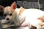 http://www.kongyuensing.com/cgi/20120222tn_chihuahua-ultrasound-2fetuses-dead-caesarean-no-pups-toapayohvets-singapore.jpg