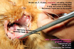 lymphocytic-plasmacytic-gingivitis-stomatitis-cat-drooling-toapayohvets-singapore.jpg