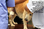 20120224bandaging-stifle-tumour-excision-wound-vet-golden-retriever-8years-toapayohvets.jpg