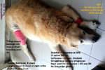massive-tumour-stifle-golden-retriever-8-years-singapore-toapayohvets.jpg