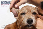 IV anaesthesia old terrier ear swelling, aural haematoma, toapayohvets, singapore