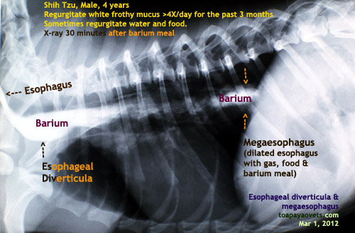 The white mucus could be accumulated there. Gland secretion of the esophagus ...