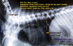 http://www.kongyuensing.com/cgi/20120302tn_megaesophagus-esophageal-diverticula-dog-4years-regurgitation-toapayohvets-singapore.jpg