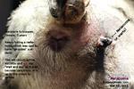 http://www.kongyuensing.com/cgi/20120313tn_melanoma-big-miniature-schnauzer-female-5years-toapayohvets-singapore.jpg