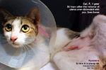 pyometra-young-cat-36hours-after-surgery-toapayohvets.jpg