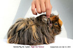 Electro-GP-trichoepithelioma/20120342tn_guinea-pig-male-3years-large-ear-tumour-electrosurgery-toapayohvets-zoletil-isoflurane.jpg