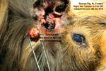 Electro-GP-trichoepithelioma/20120342tn_guinea-pig-male-3years-large-ear-tumour-electrosurgery-toapayohvets-zoletil-isoflurane.jpg