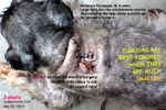 z-plasty-large-skin-above-neck-tumour-schnauzer-toapayohvets.jpg