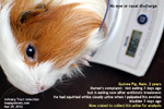guinea-pig-urine-collection-review-uti-7days-later-toapayohvets-singapore