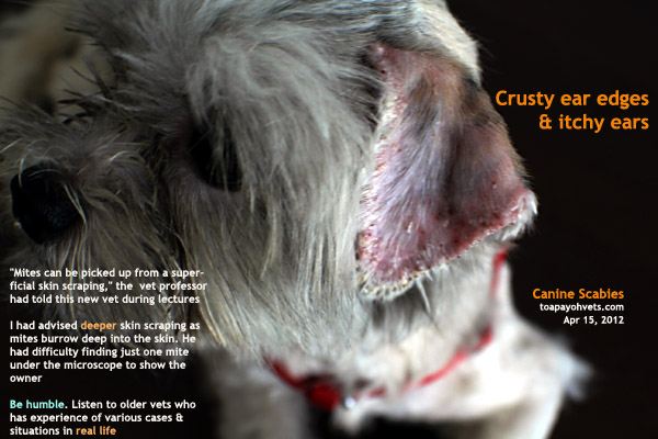 Dry And Crusty Ear Flaps In Dog