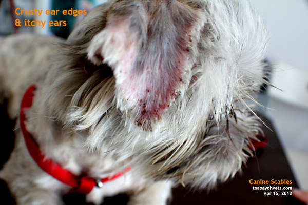 Crusty Ear Margins In Dogs