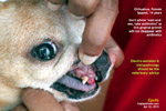 chihuahua, female, spayed, 14 years, epulis or gingival growth, toapayohvets,singapore