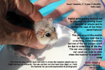 32-month-old dwarf hamster itchy ears - wax nodule deep inside 2 ears, toapayohvets, singapore