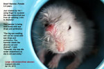 subconjunctival-abscess-old-dwarf-hamster-toapayohvets-singapore