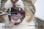 feline eosinophilic granuloma complex indolent ulcers cat toapayohvets, singapore