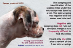 scabies-ringworm-young-female-shihtzu-toapayohvets-singapore