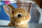 hyphema - bleeding right chamber of eye, netherland rabbit, 2 months