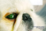 Pekinese, first-time corneal ulcer, 3 days, toapayohvets, singapore