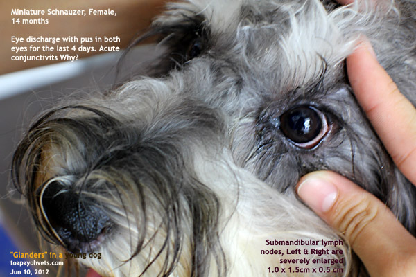 Swollen Eyes And Lymph Nodes In Dogs