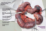 closed pyometra, golden retriever, toapayohvets
