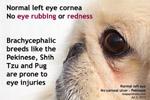 no corneal ulcer, fluorescein eye stain does not show green cornea, pekinese, toapayohvets