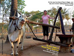 Mount Popa to Bagan - farmers making peanut oil, using cow. designtravel pte ltd, singapore
