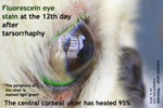 deep ulcerative keratitis, corneal ulcer, pekinese, singapore toapayohvets