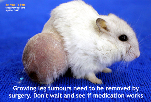 http://www.kongyuensing.com/cgi/20130406malignant_leg_tumour_hamster_toapayohvets.jpg