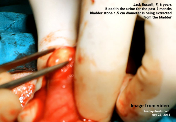 ... bladder stone in a Jack Russell. Video: Costs of bladder stone surgery