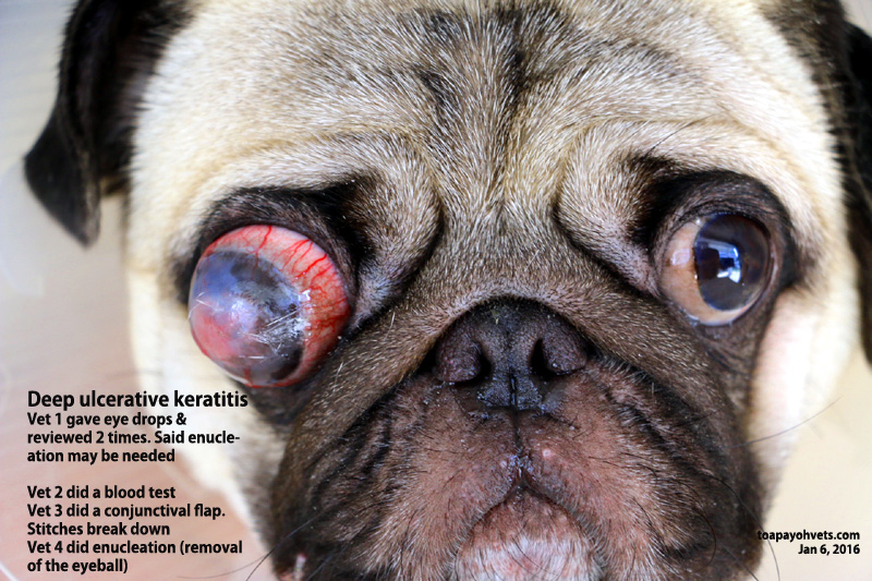Eye Ball Problems Dogs