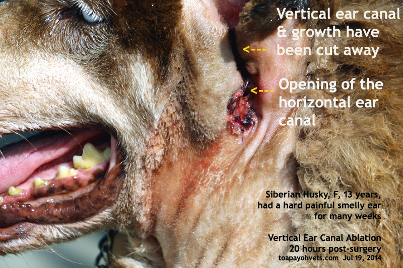 Dog Ear Canal Surgery Cost