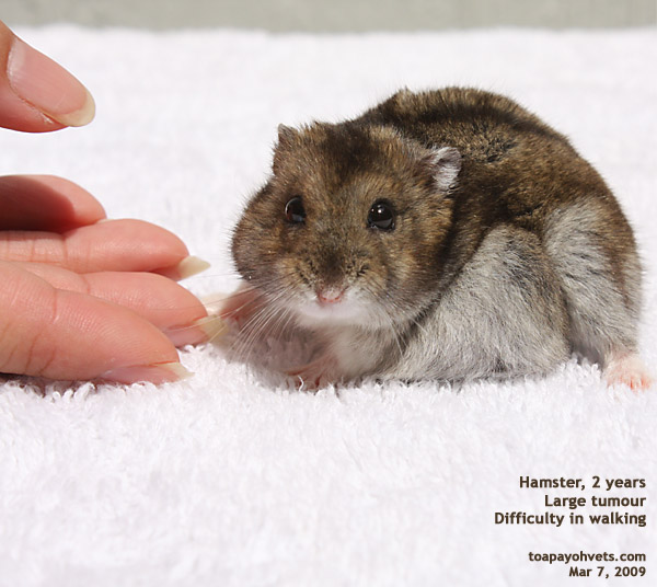 http://www.kongyuensing.com/pic/20080307Hamster_Dwarf_2_years_Large_Fat_Tumour_ToaPayohVets.jpg