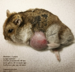 Dwarf Hamster-large fat tumour. Toa Payoh Vets