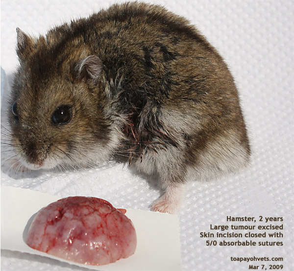 Big Fat Hamsters Hamster-large Fat Tumour
