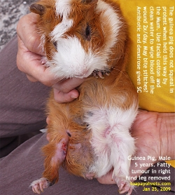 Guinea Pig, 5 years, male. Fast-growing leg tumour. Toa Payoh Vets